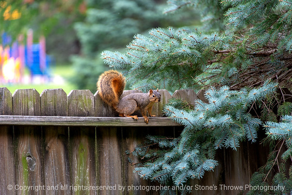 015-squirrel-ankeny-27sep18-12x08-008-500-7950