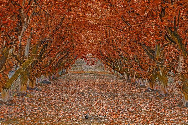 """Tunnel of Fall,"" Hazelnut tree tunnel in the Autumn, Oregon"