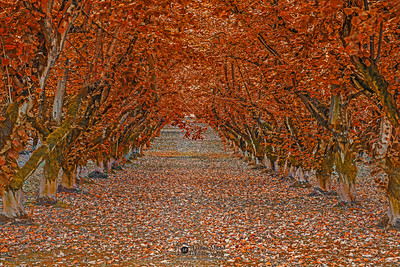 """Tunnel of Fall,"" Hazelnut tree tunnel in the Autumn, Oregon"