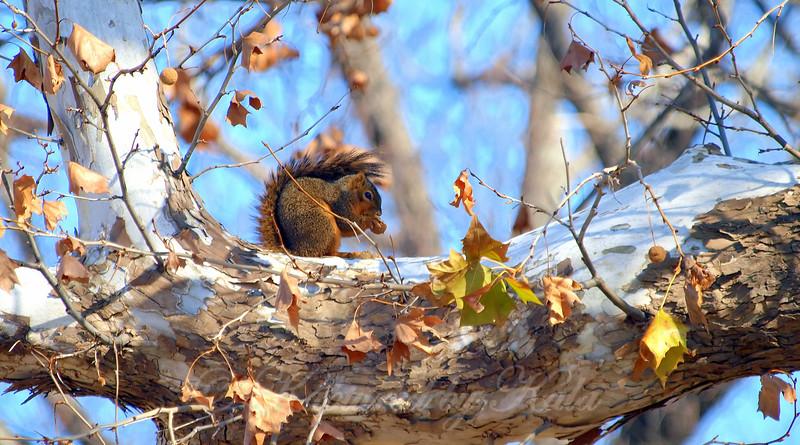 White Rock Lake Squirrel Snacking On An Acorn