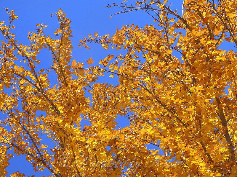 Burnished Gold On Cerulean Blue