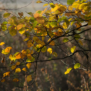 Autumn Gold_Beech