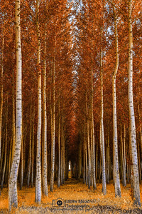 """Into the Forest,"" Boardman Tree Farm Autumn Colors, Boardman, Oregon"