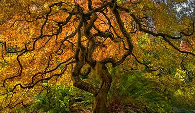 Backlit Japanese Maple