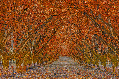 """Autumn's Goodbye,"" Hazelnut tree tunnel in the Autumn, Oregon"