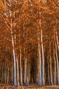 """Autumn Gold"" Boardman Tree Farm Autumn colors, Boardman, Oregon"
