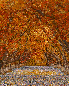 """Autumn's Whisper,"" Hazelnut tree tunnel in the Autumn, Oregon"
