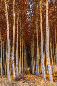 """Golden Autumn,"" Boardman Tree Farm Autumn Colors, Boardman, Oregon"
