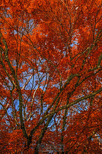 """Crimson Web,"" Japanse Maple, Oregon"