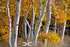 Aspens in the Sun