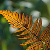 Golden autumn fern