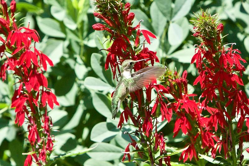 eye of the Rubythroated Hunmmingbird