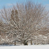 Beech tree after a snowfall,<br />  New Haven, CT