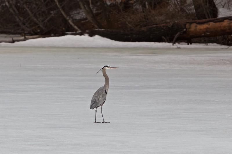 Great Blue Heron on Lake Whitney, CT