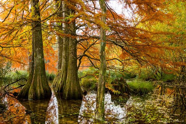 les cyprès du bayou