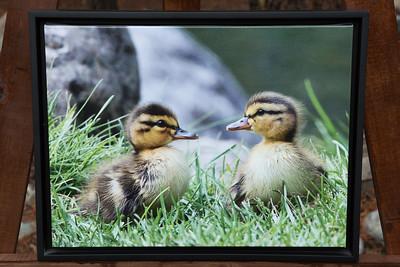 Baby Mallards-12x16 framed canvas  $125