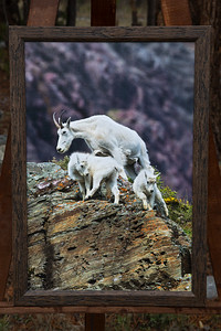 Twins?-mountain goats-16x24 canvas-2 inch faux wood frame  $195
