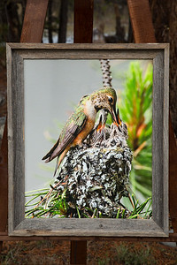Hummingbird With Babies-16x20 canvas-2 inch barn wood frame-LIMITED EDITION $185