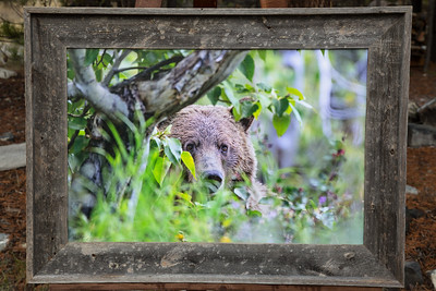 Peek-a-boo Grizzly 20x30 canvas-4 inch barn wood frame  $295