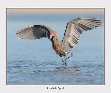 Reddish Egret w/ white border