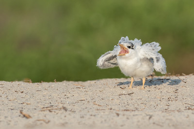 Seeing an adult approach with a tasty morsel in it's beak this young tern is getting excited. The adult lands and just as it is about to hand off it's catch it flies off after realizing that this was the wrong chick.