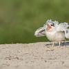 Royal Tern young
