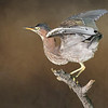 Little green Heron - With textured background