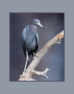 Little Blue Heron. With background added