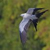 Swallow-tailed Kite, www.klein.smugmug.com