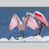 Roseate Spoonbill feeding its young (with border)