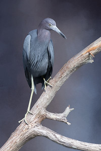 Little blue heron with textured background added
