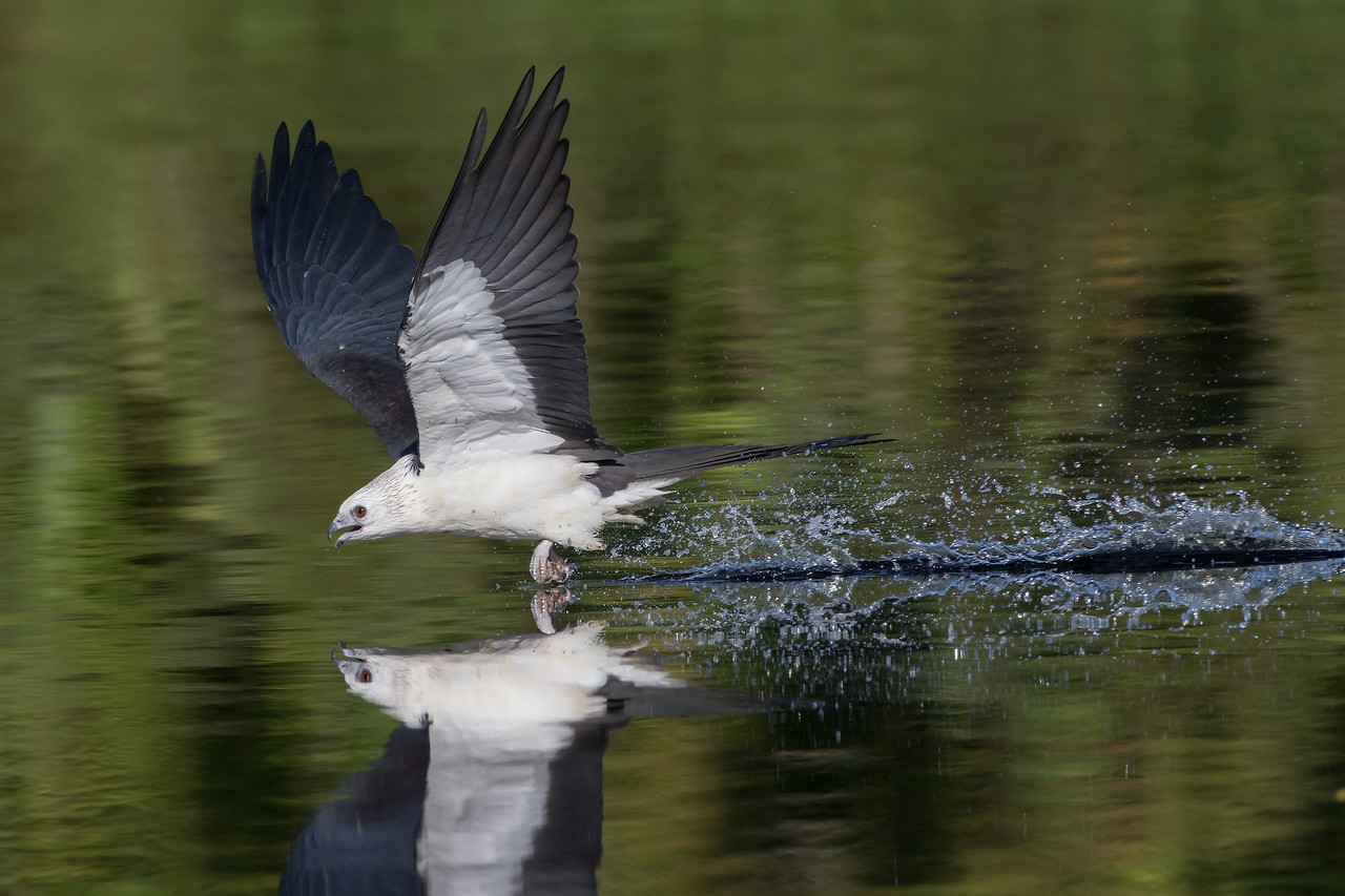 First year Swallow-Tailed kite