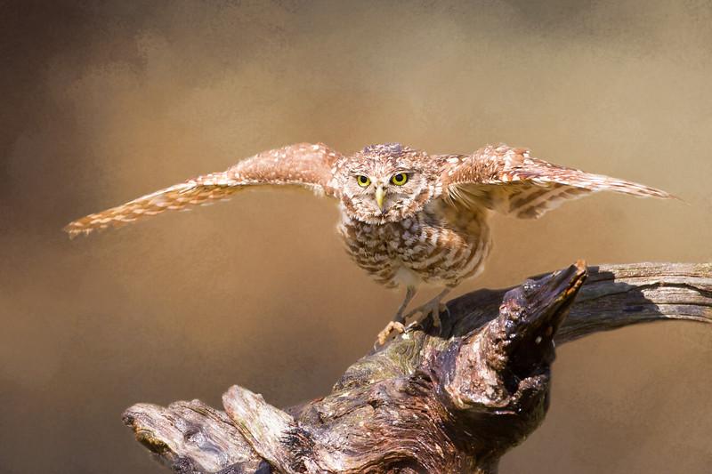 Female burrowing owl