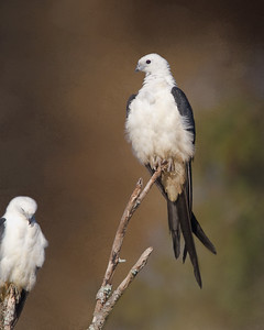 Roasting Swallow-tail Kites