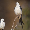 Roosting Swallow-tail Kites