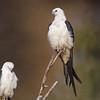 Roasting Swallow-tail Kites