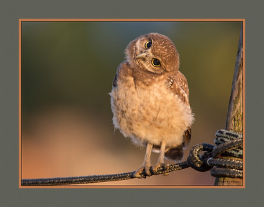 Young burrowing owl w/ border