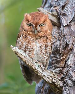 Eastern Screech Owl (red-morph-male)