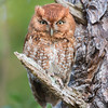 Eastern Screech Owl (red-morph-male)