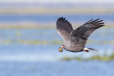 Male Snail Kite (formally known as Everglades Kite)