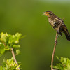 "Juvenile Red-winged black bird….i think?  <a href=""http://www.wklein.smugmug.com"">http://www.wklein.smugmug.com</a>"