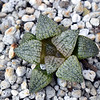 Haworthia picta x splendens 2018-07 Clone 12