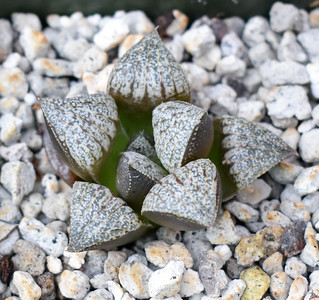 Haworthia picta x splendens clone 6
