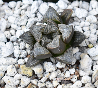 Haworthia picta x splendens 2018-07 clone 15