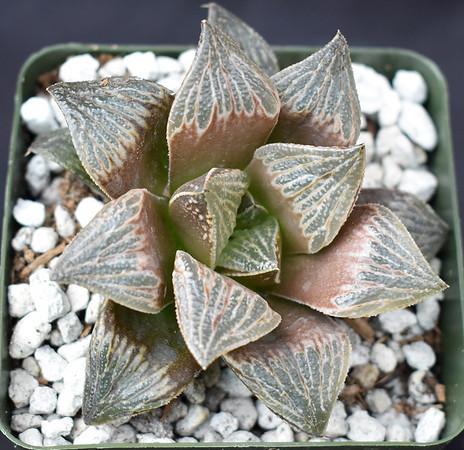 Haworthia picta x splendens 2018-07 clone 18
