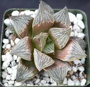 Haworthia picta x splendens 2018-07 clone 18