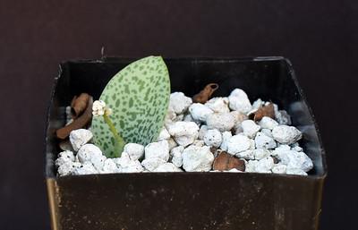 Drimiopsis species Kalkfontein