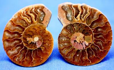 Jewelry Sized Ammonites 315