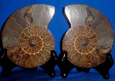 Split Ammonite 208