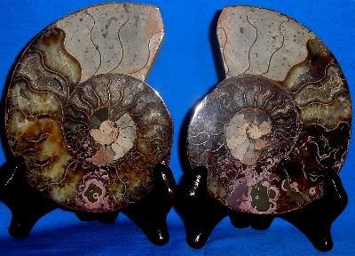 Split Ammonite 211
